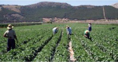 España busca 80 Mil desempleados e inmigrantes para recoger cosechas agrícolas